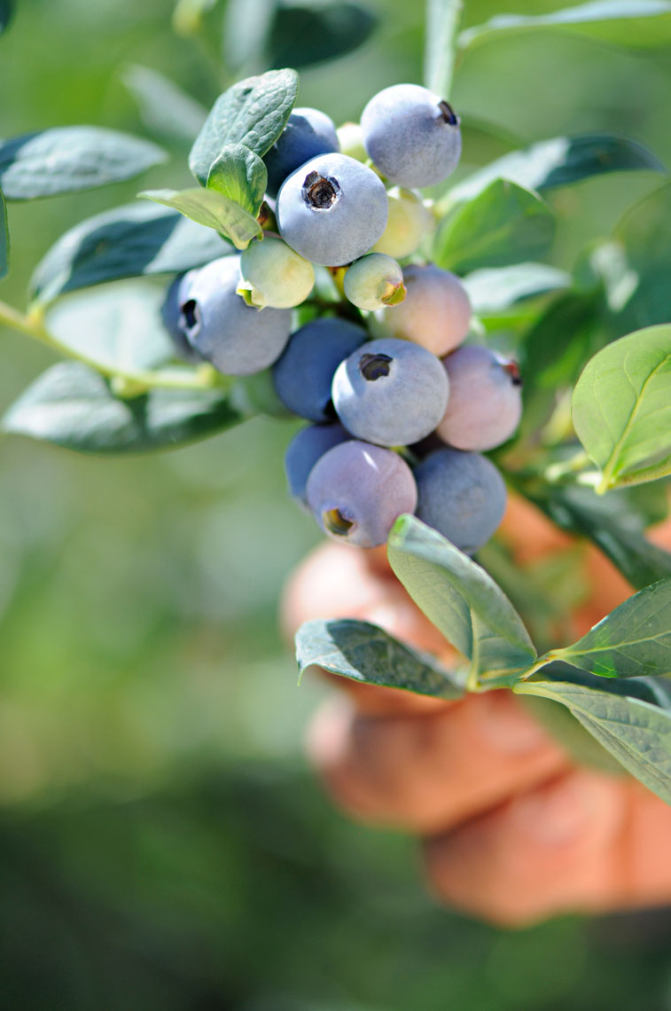 Close-up-of-a-hand-holding-a-cluster-of-freshly-picked-blueberries-on-a-blueberry-farm-by-los-angeles-farm-photographer