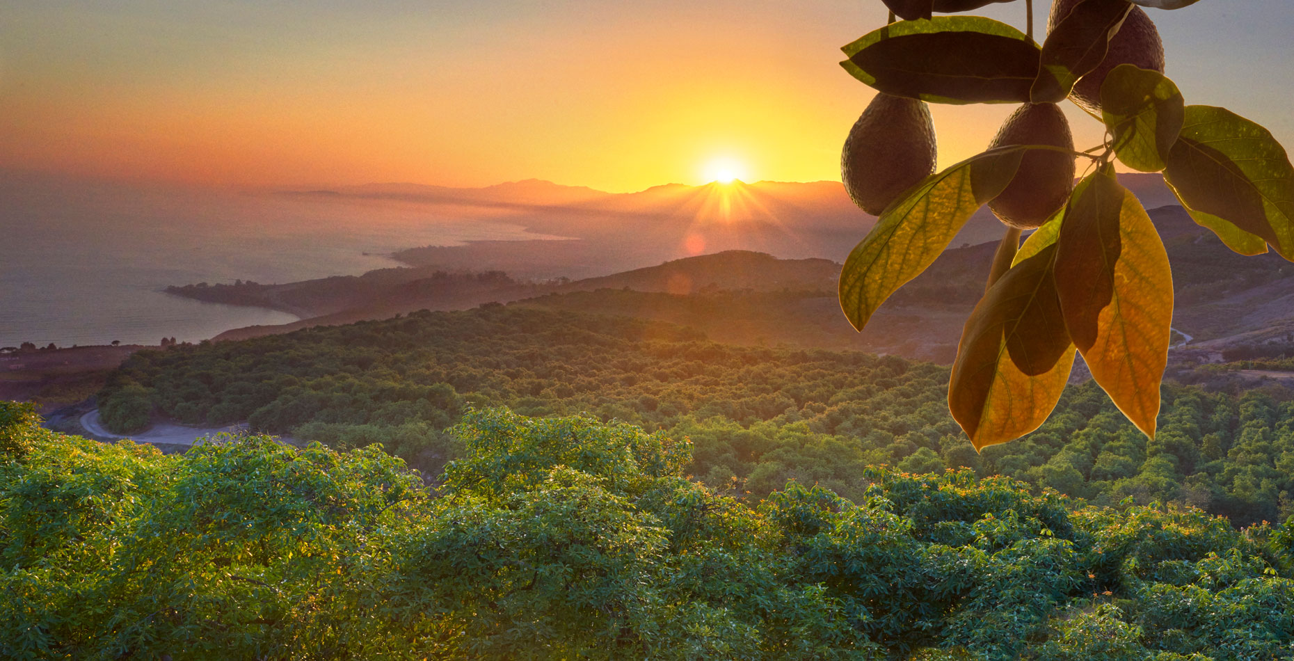 Avocado-orchard-at-sunset-on-the-central-California-coast-with-avocados-hanging-on-branch-in-foreground-pacific-coast-ocean in-background-by-Los-Angeles-farm-photographer-Joe-Atlas..