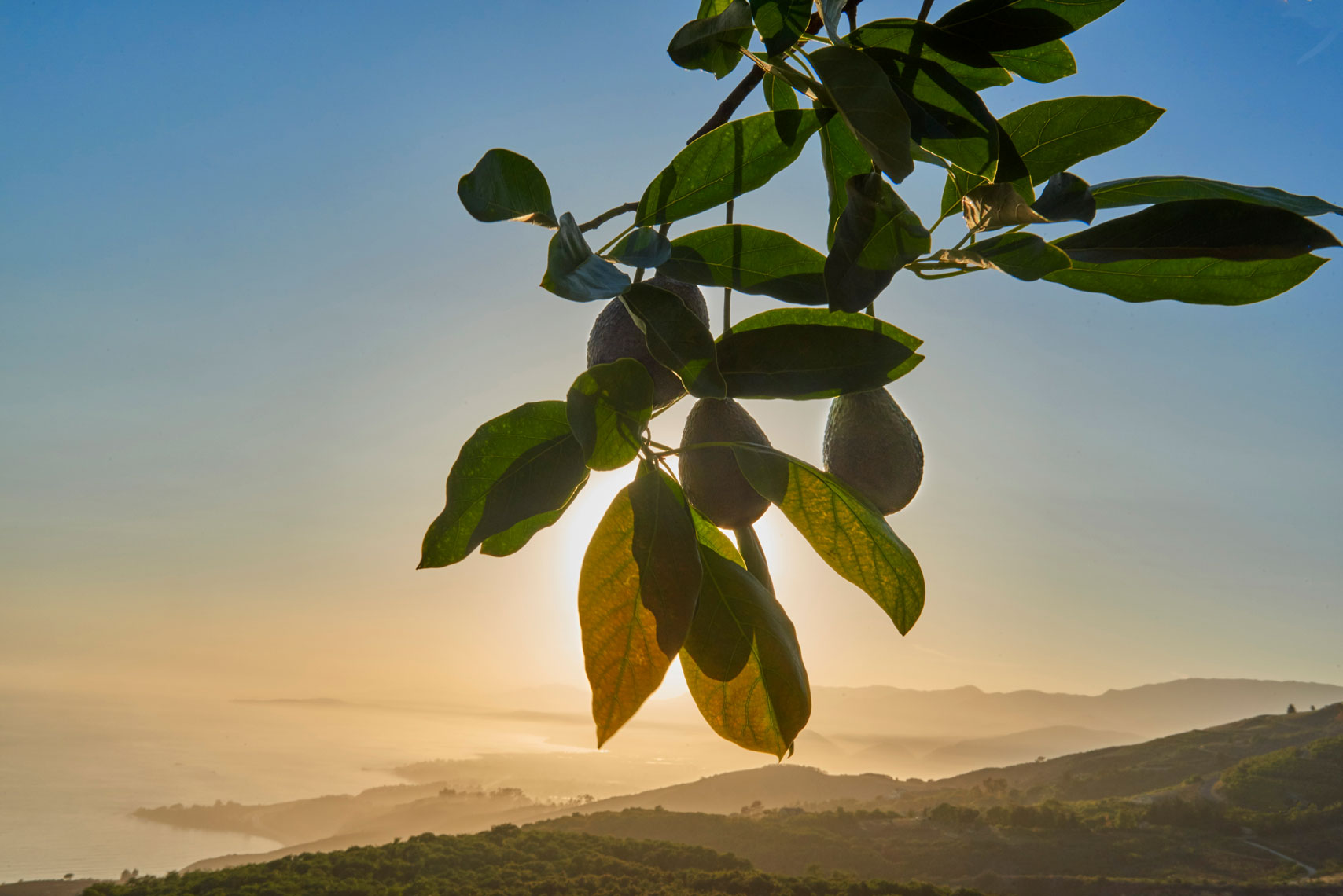 Avocados-on-branch-with-orchard-in-background-on-southern-california-coast-by-Los-Angeles-farm-photographer-Joe-Atlas.