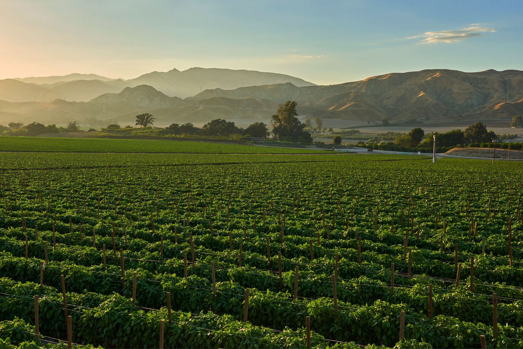 Bell-pepper-farm-field-at-sunset-with-mountains-in-the-background-by-California-landscape-photographer-Joe-Atlas..