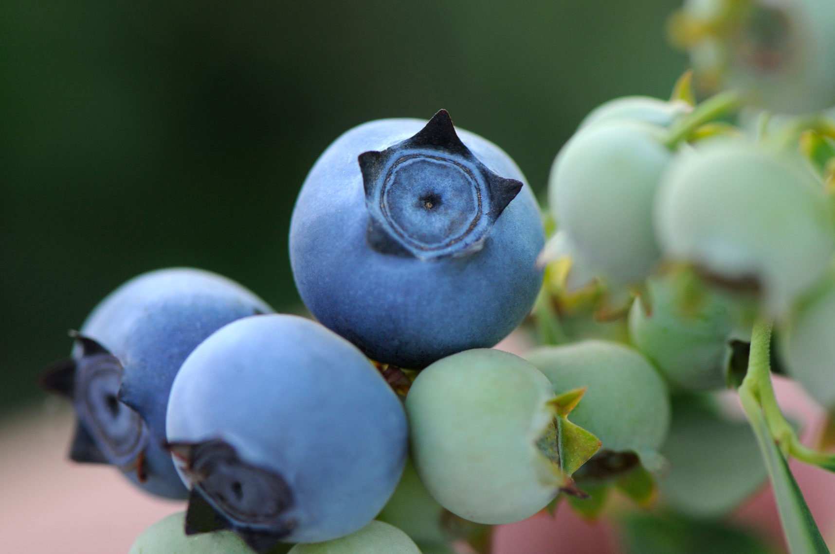 Blueberries-and-green-fruit-on-bushes-at-sunrise-in-Delano-California-by-farming-photographer-Joe-Atlas..