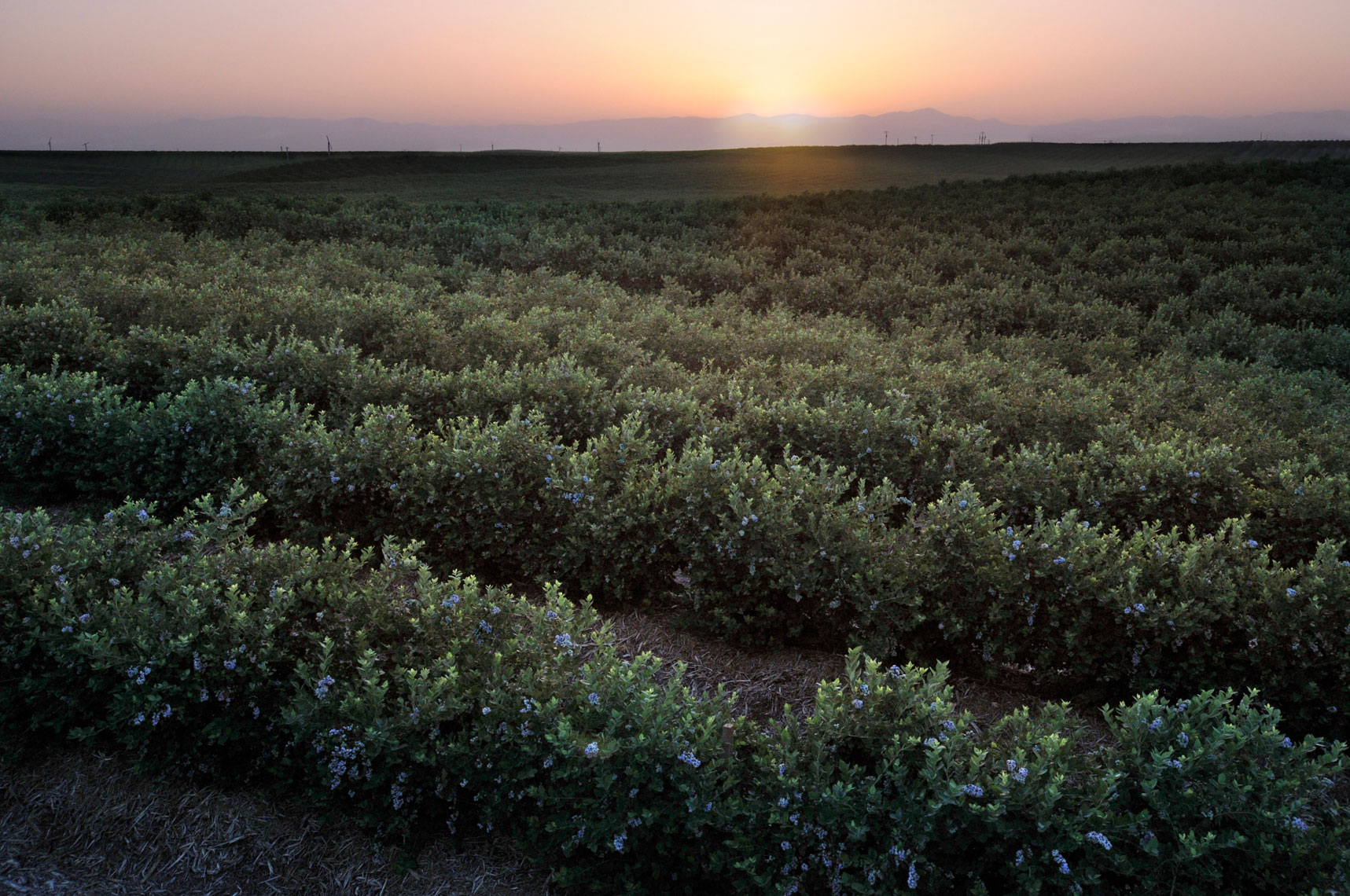 Blueberry-bush-fields-at-sunset-by-California-landscape-photographer-Joe-Atlas.