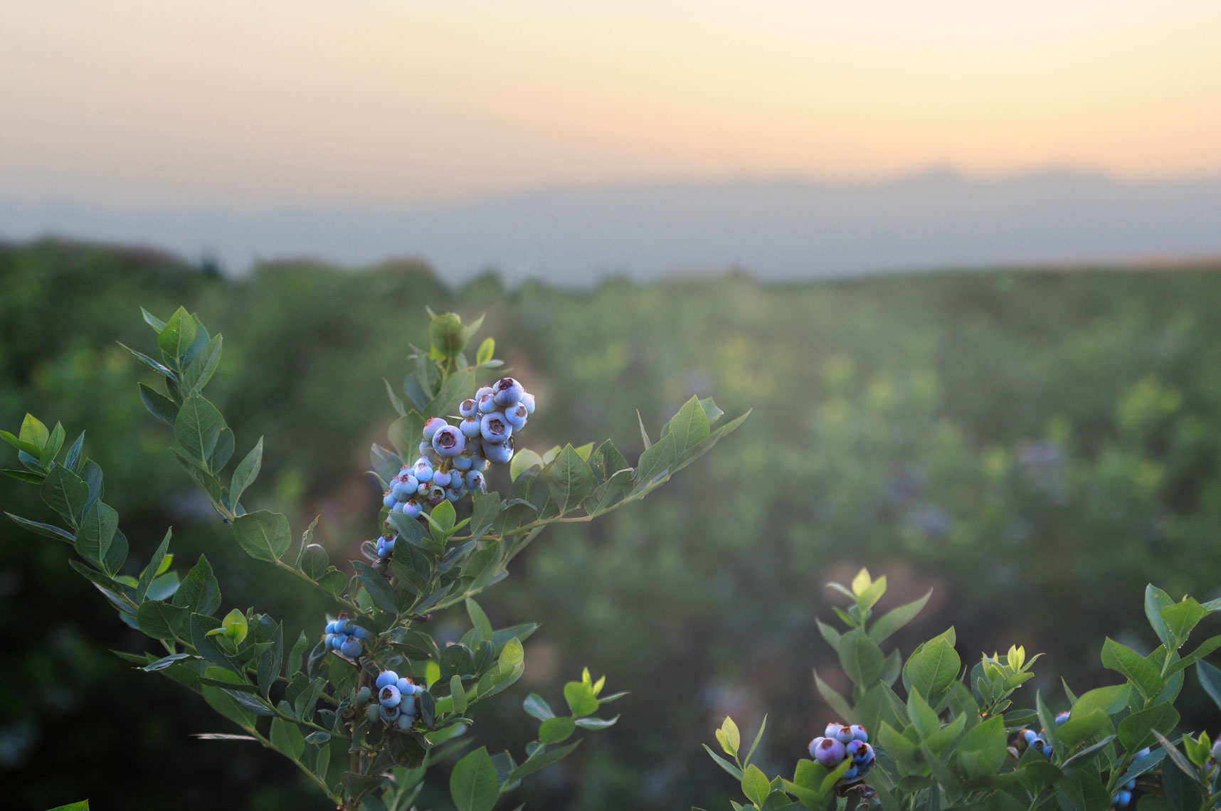 Blueberry-bushes-and-fruit-at-sunrise-by-farming-photographer-Joe-Atlas..