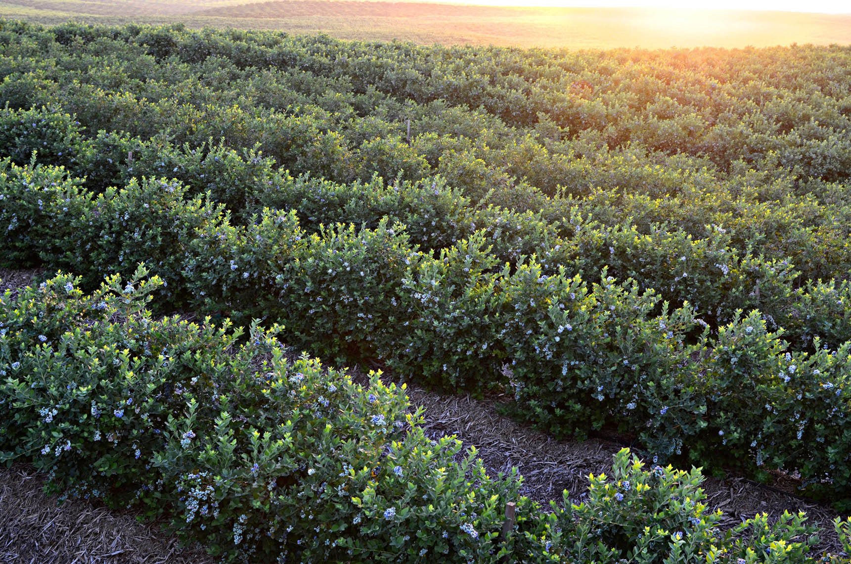 Blueberry-farm-at-sunrise-by-farming-photographer-Joe-Atlas.