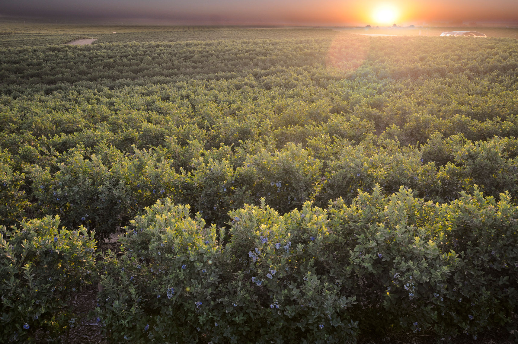 Blueberry-fields-at-sunset-in-Delano-California-by-farming-photographer-Joe-Atlas..
