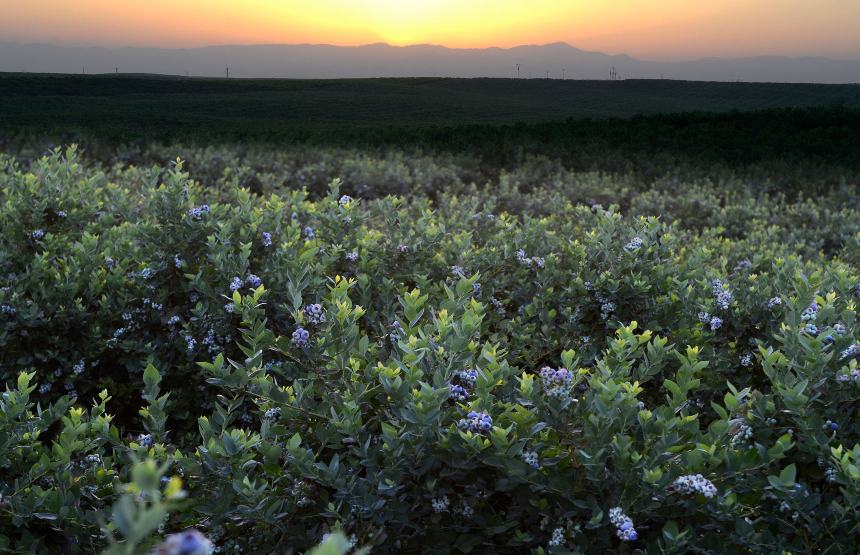 Blueberry-orchard-at-sunset-in-Delano-California-by-farming-photographer-Joe-Atlas..