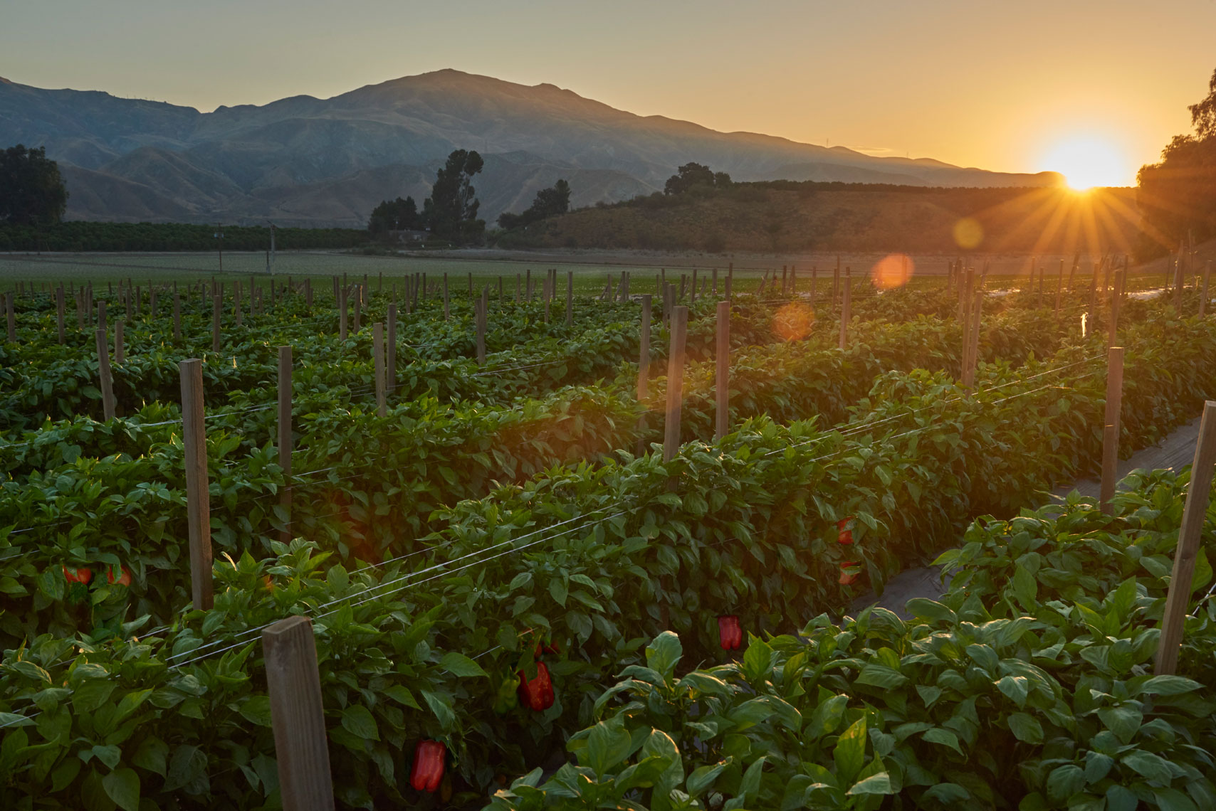 California-bell-pepper-farm-at-sunrise-by-farm-photographer-Joe-Atlas.
