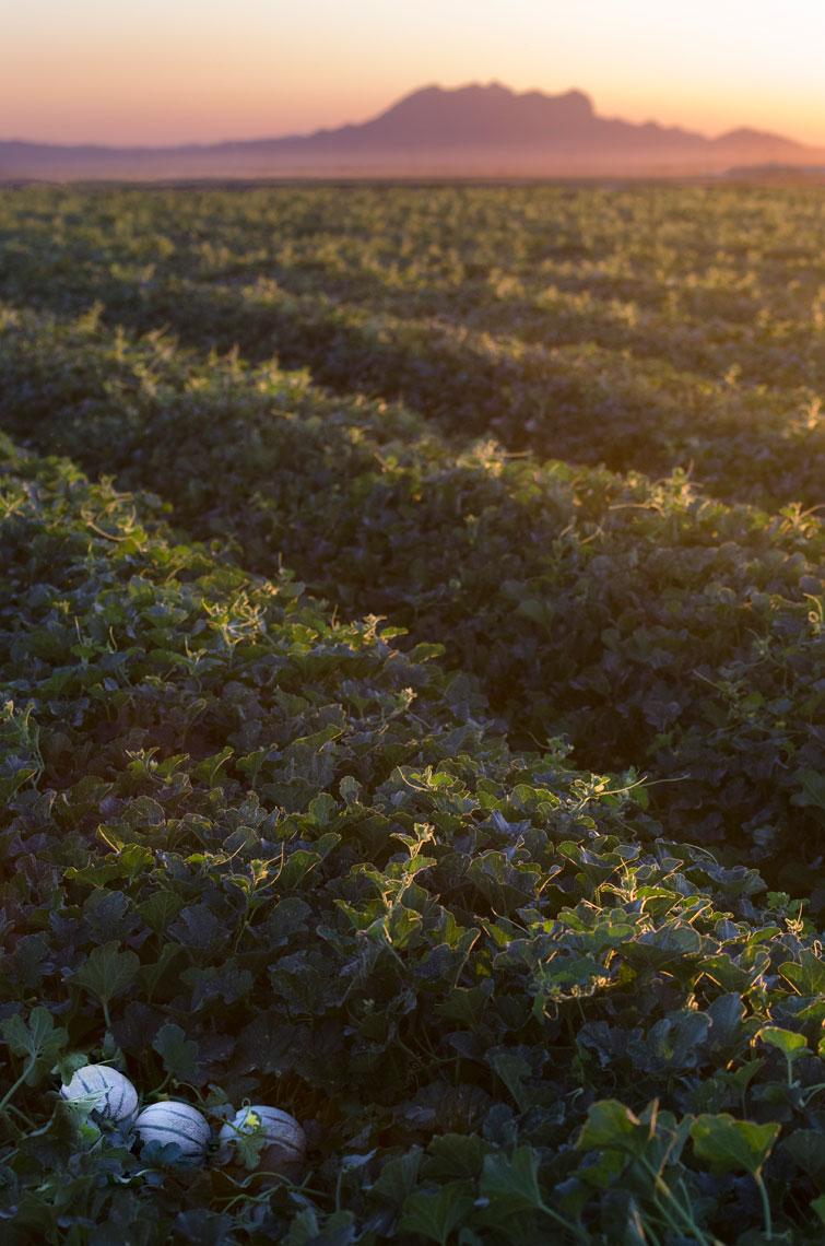 Charentais-French-Melon-in-the-field-at-sunset-by-produce-photographer-Joe-Atlas.