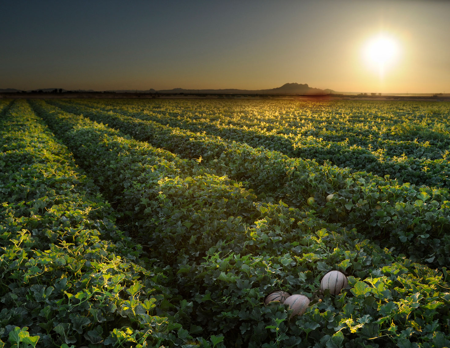 Beautiful-backlit-Charentais-French-Melons-in-the-field-at-sunset-by-farm-photographer-Joe-Atlas.