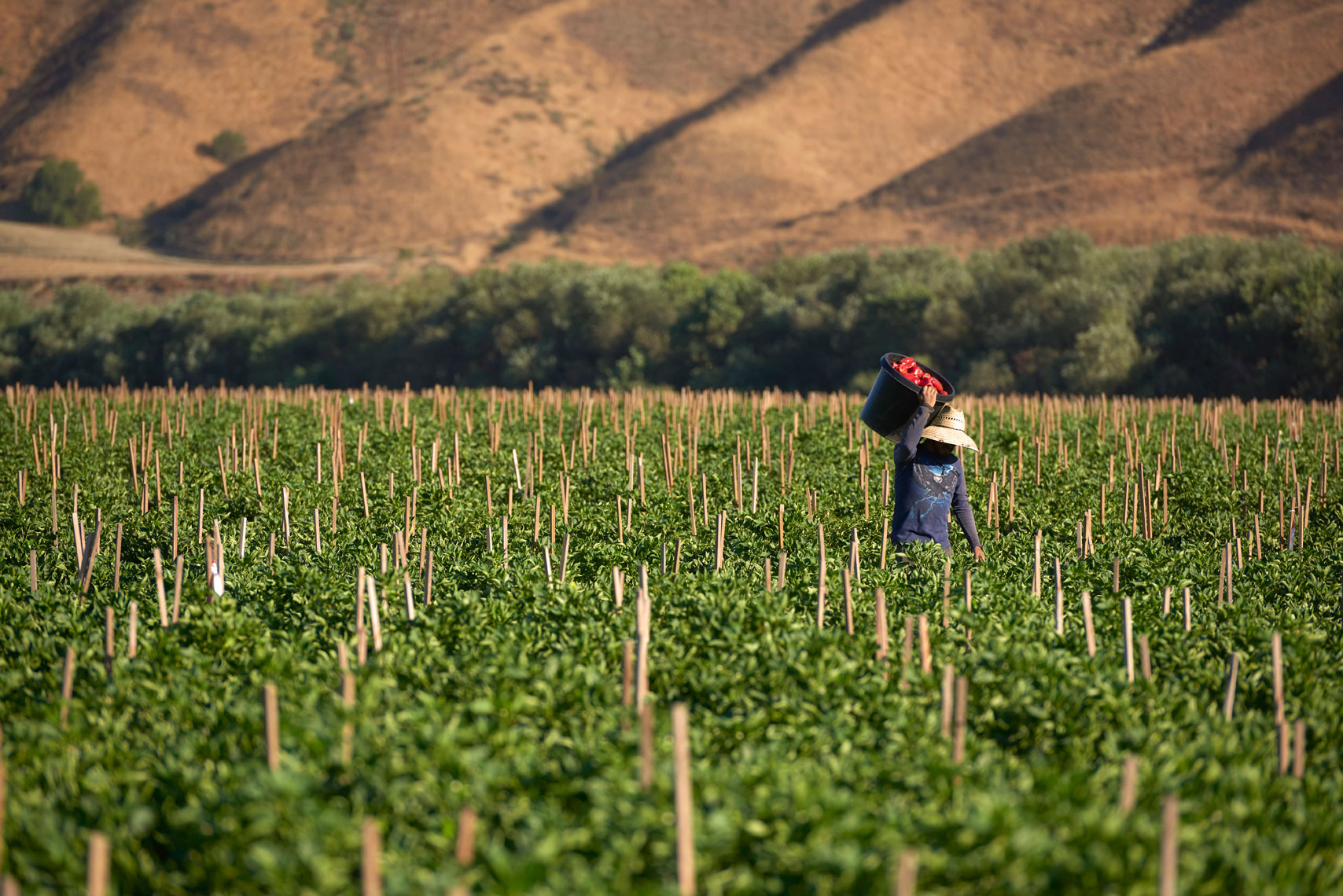 Farm-photographry-of-field-worker-carrying-bucket-of-freshly-picked-red-bell-peppers-on-the-farm