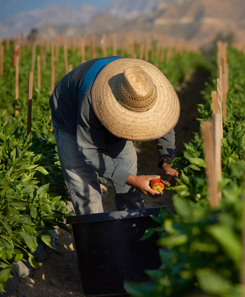 Farm-photographry-of-field-worker-picking-red-bell-peppers-on-the-farm