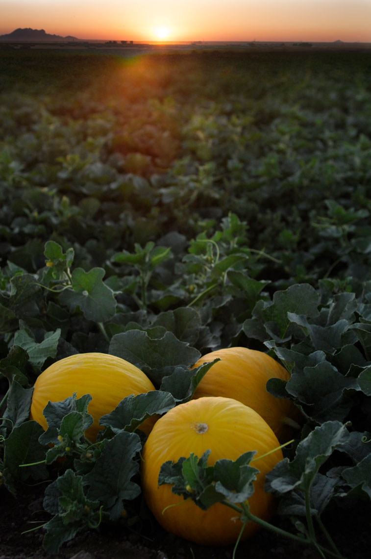 Agriculture-photography-of-Orange-Fonzy-mellons-in-field-at-sunset-