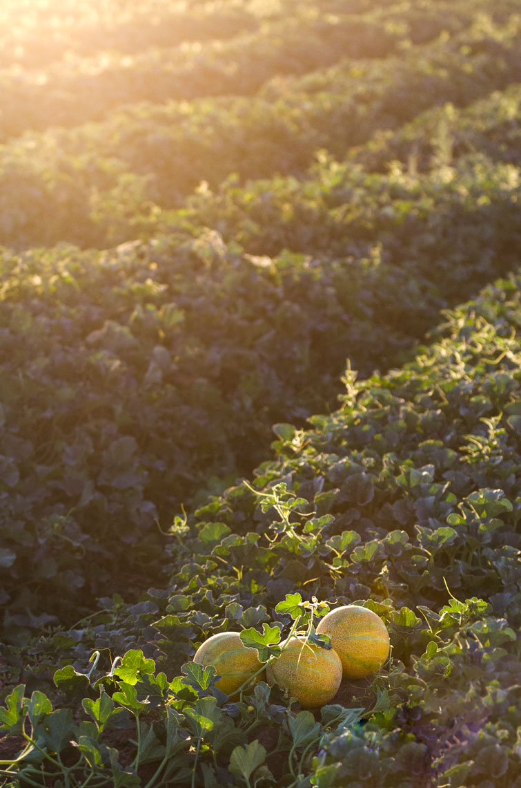 Agriculture-photography-Three-Yellow-European-Melons-in-the-field-at-sunset