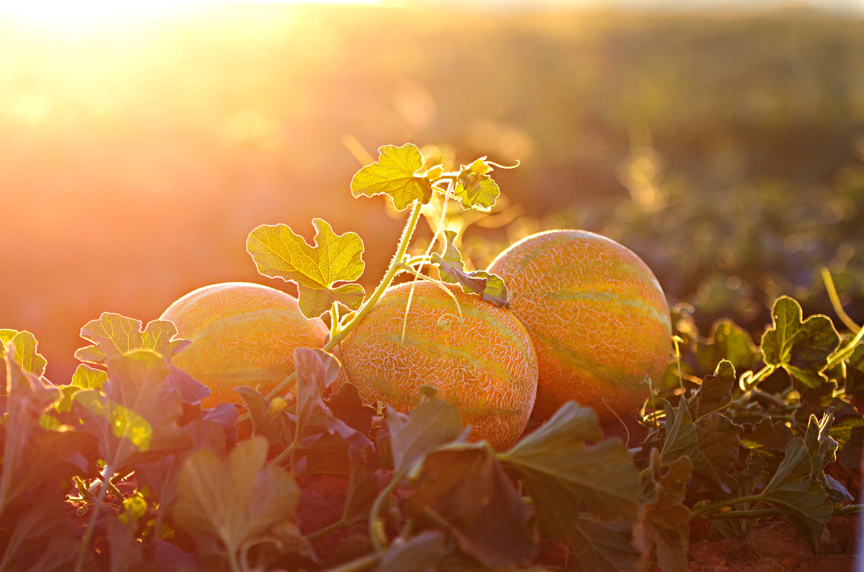 Agriculture-photography-of-yellow-European-Melons-in-the-farm-field-at-sunset.