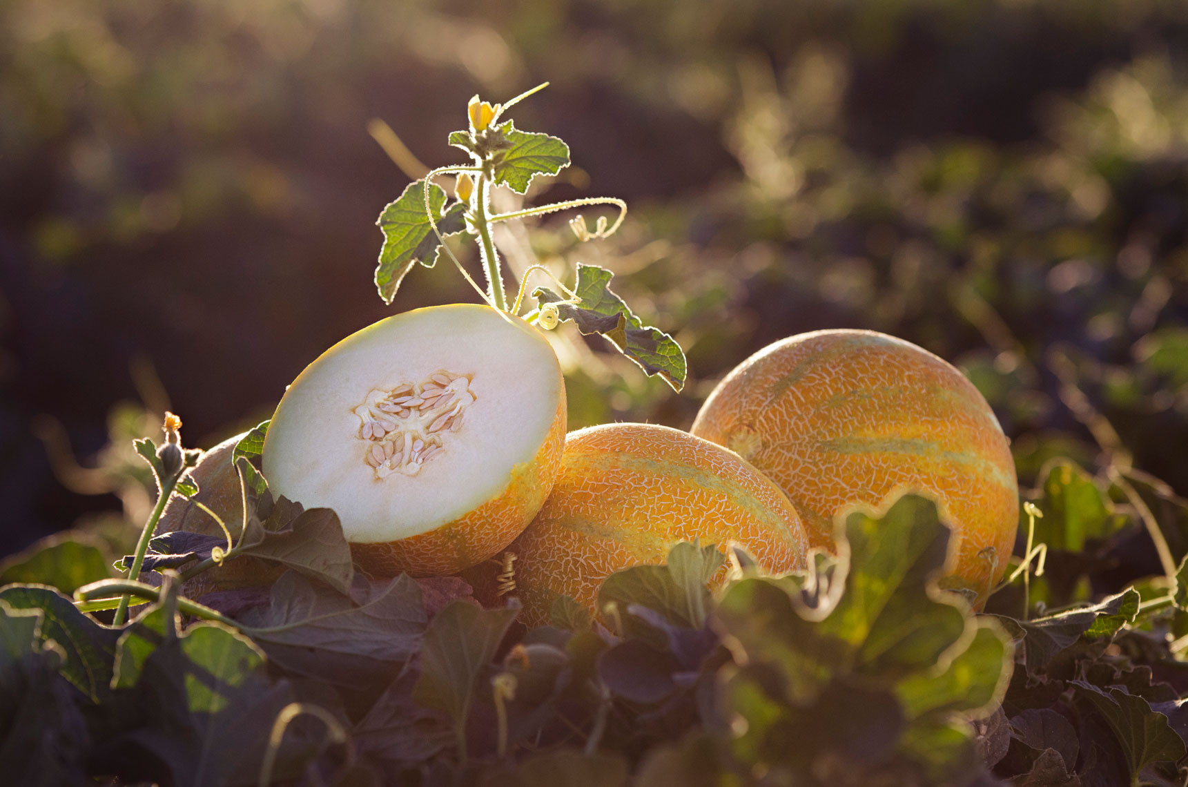 Agriculture-photography-of-Yellow-European-Melon-in-the-field-at-sunset-with-cut-melon-showing-white-flesh