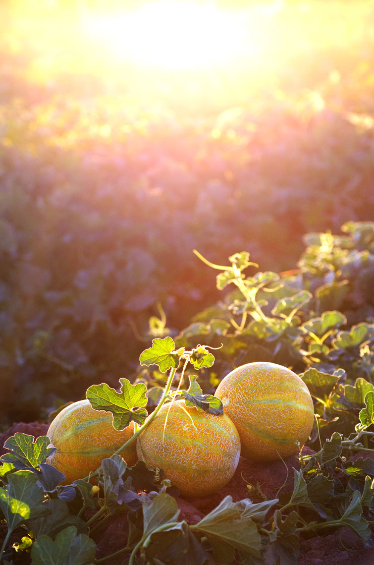 Agriculture-photography-Yellow-European-Melon-in-the-field-at-sunset-with-field
