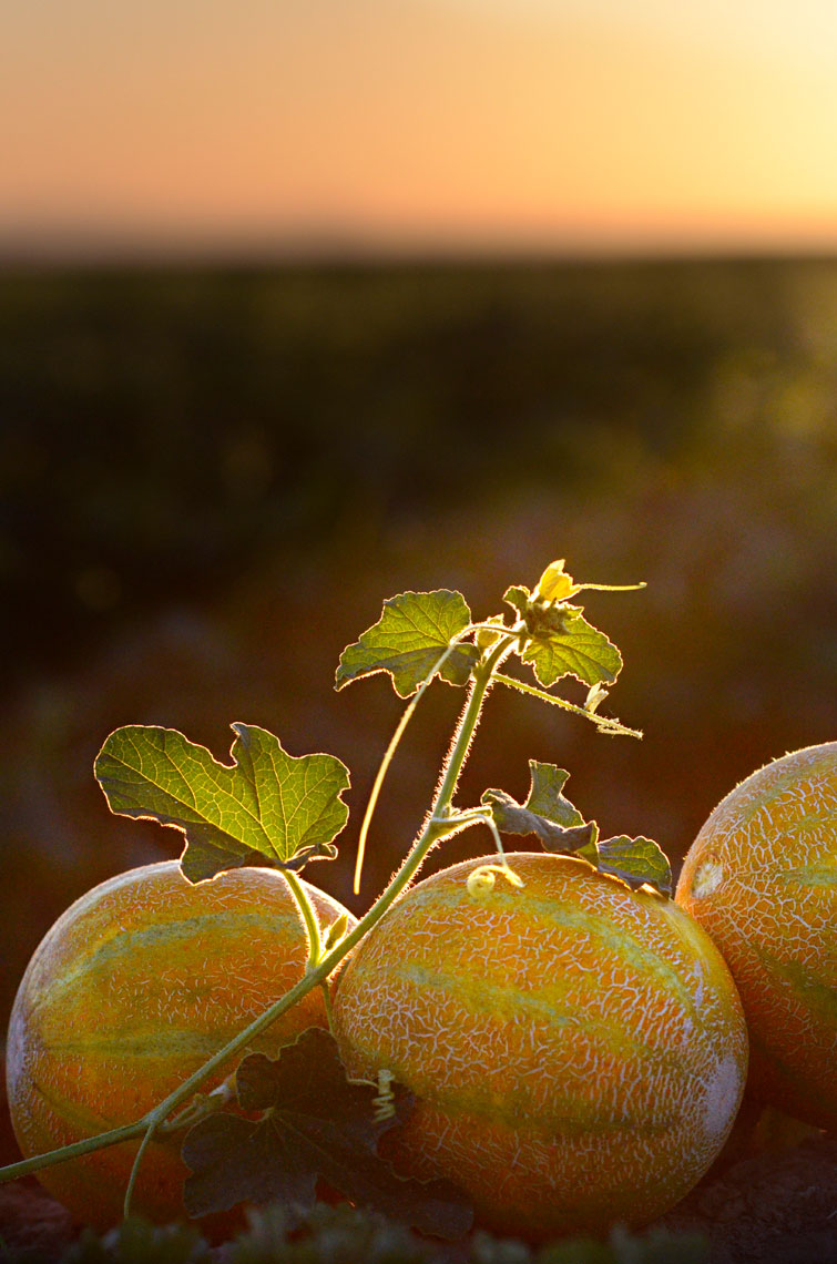 Agriculture-photography-Yellow-European-Melon-in-the-field-at-sunset